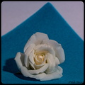 une rose blanche