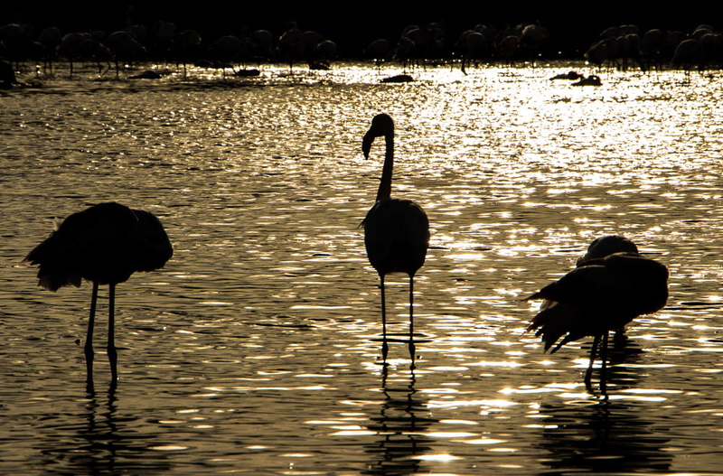 Contre-jour Flamants roses.jpg